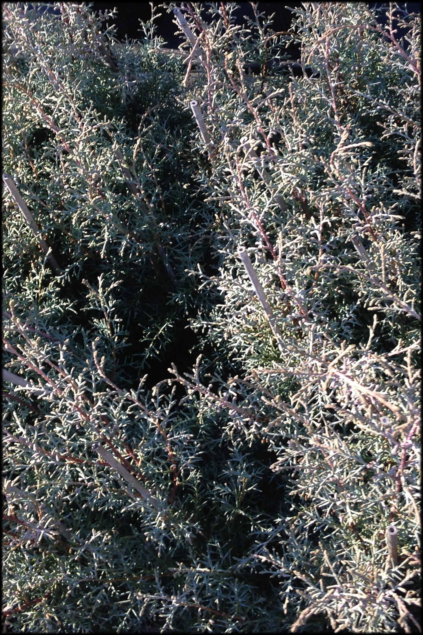 Carolina Sapphire Leaf CU