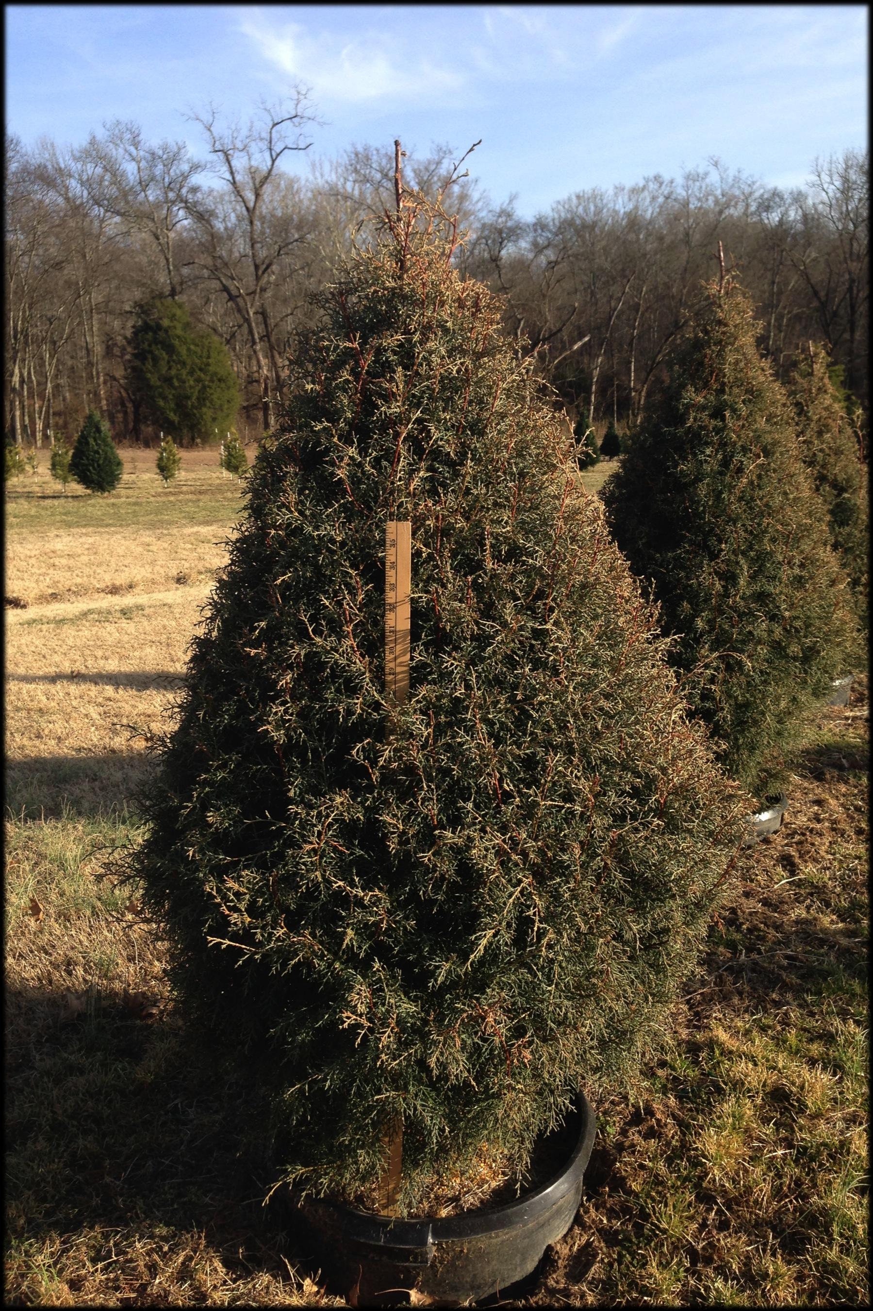Carolina Sapphire 15B (yard stick)