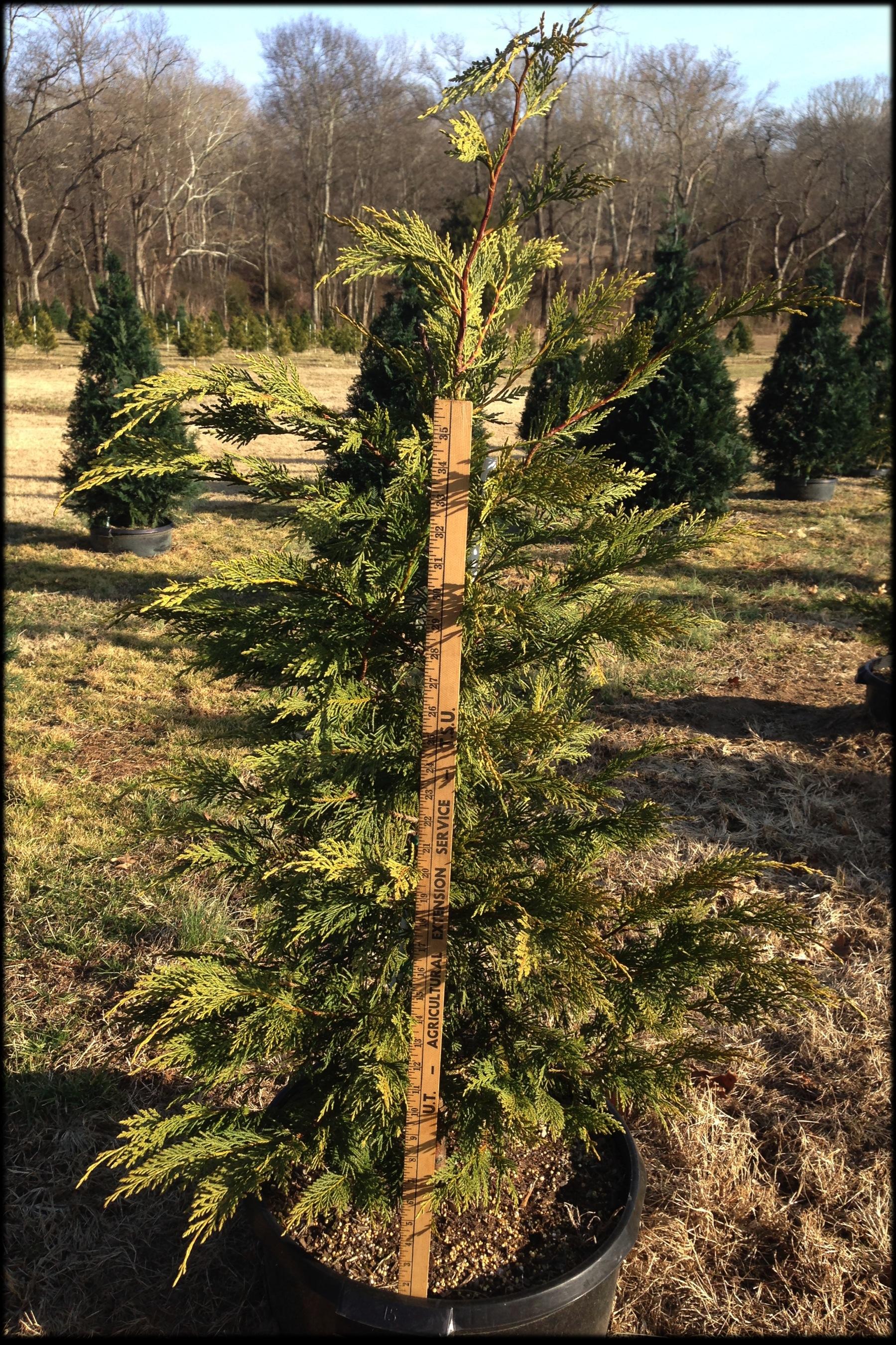 Leyland Cypress 15A (yard stick)