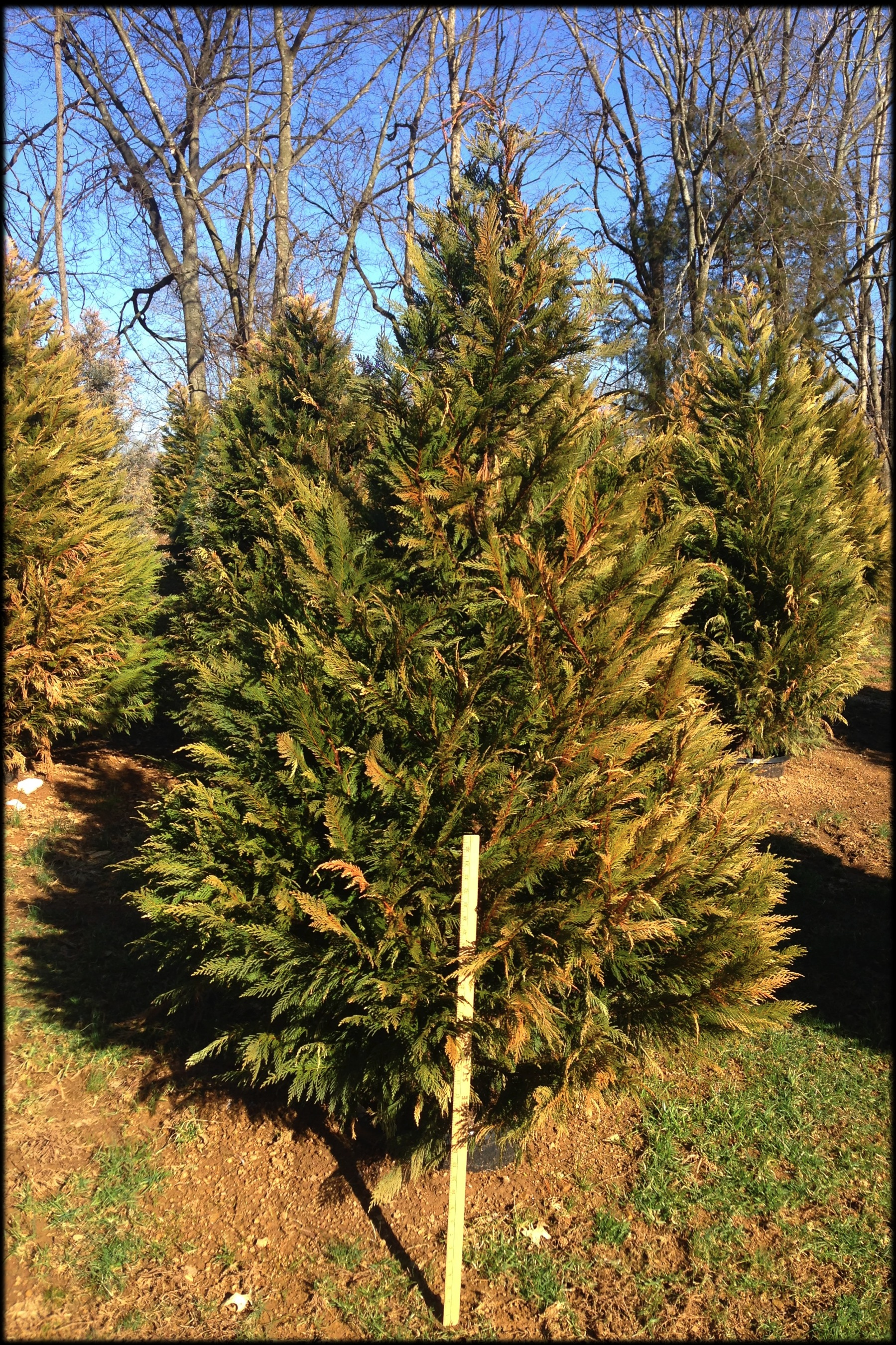 Leyland Cypress 15D (yard stick)