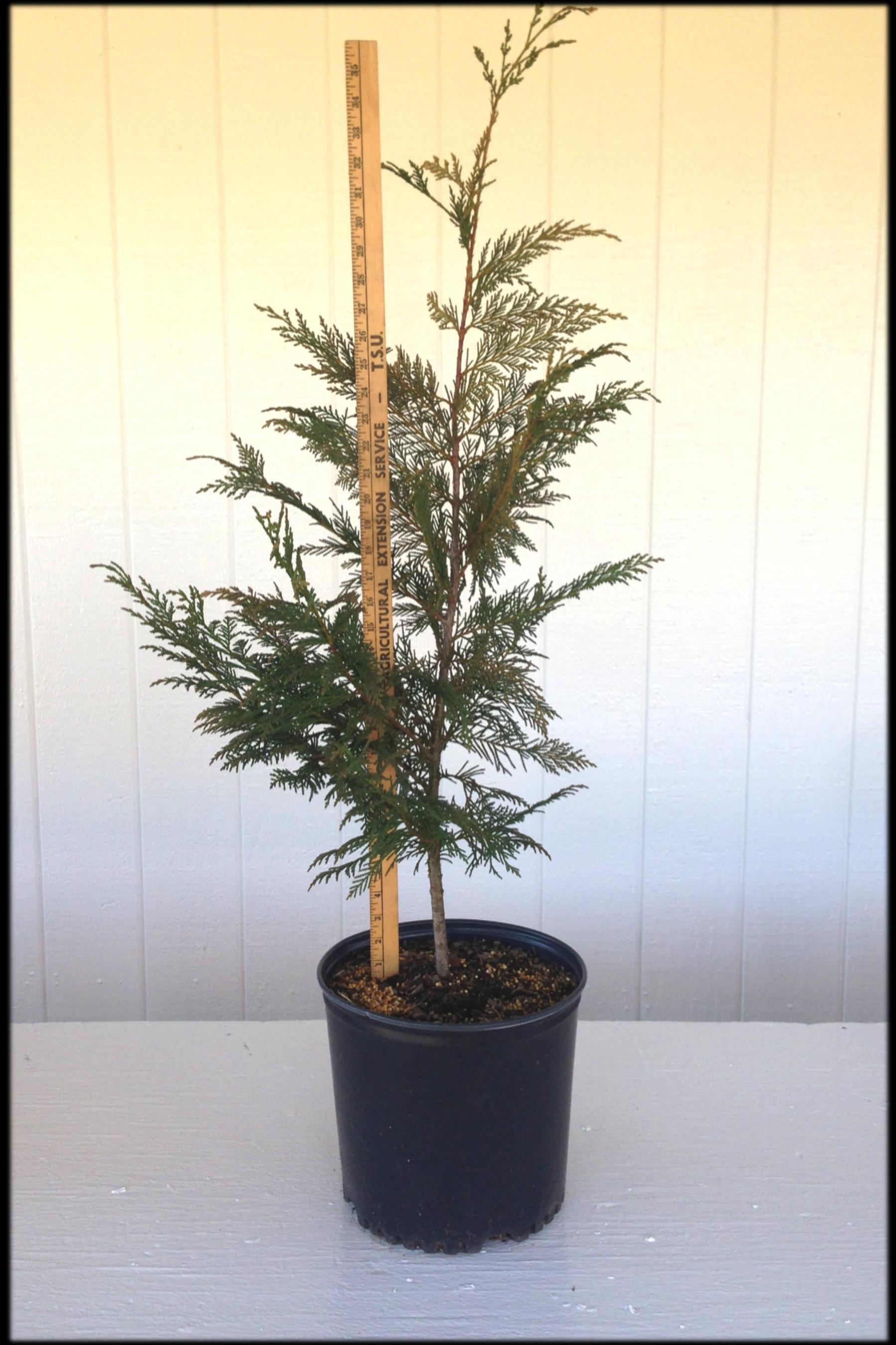 Leyland Cypress 3 (yard stick)