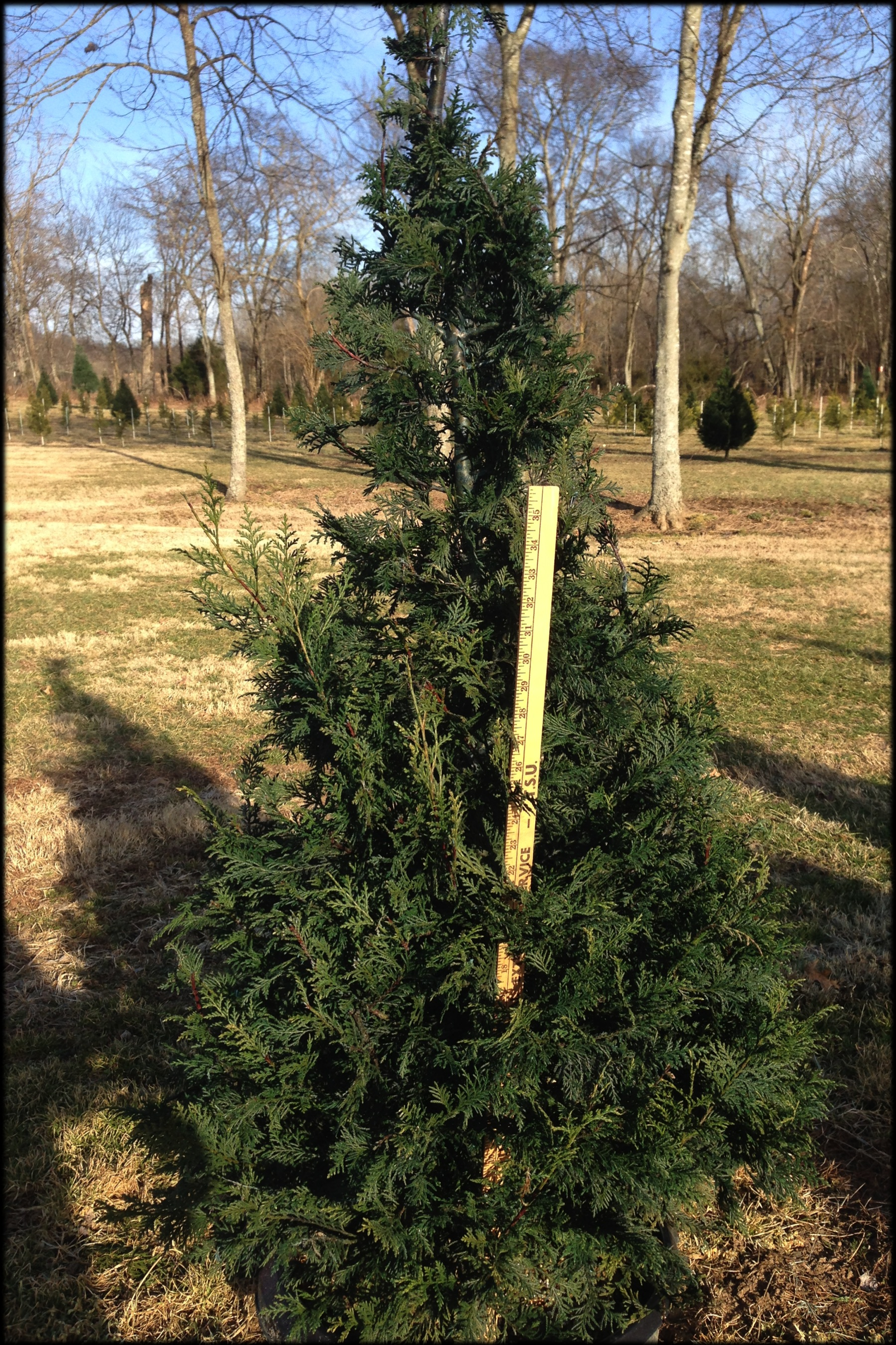 Murray Cypress 3 4 Ft Green View Trees