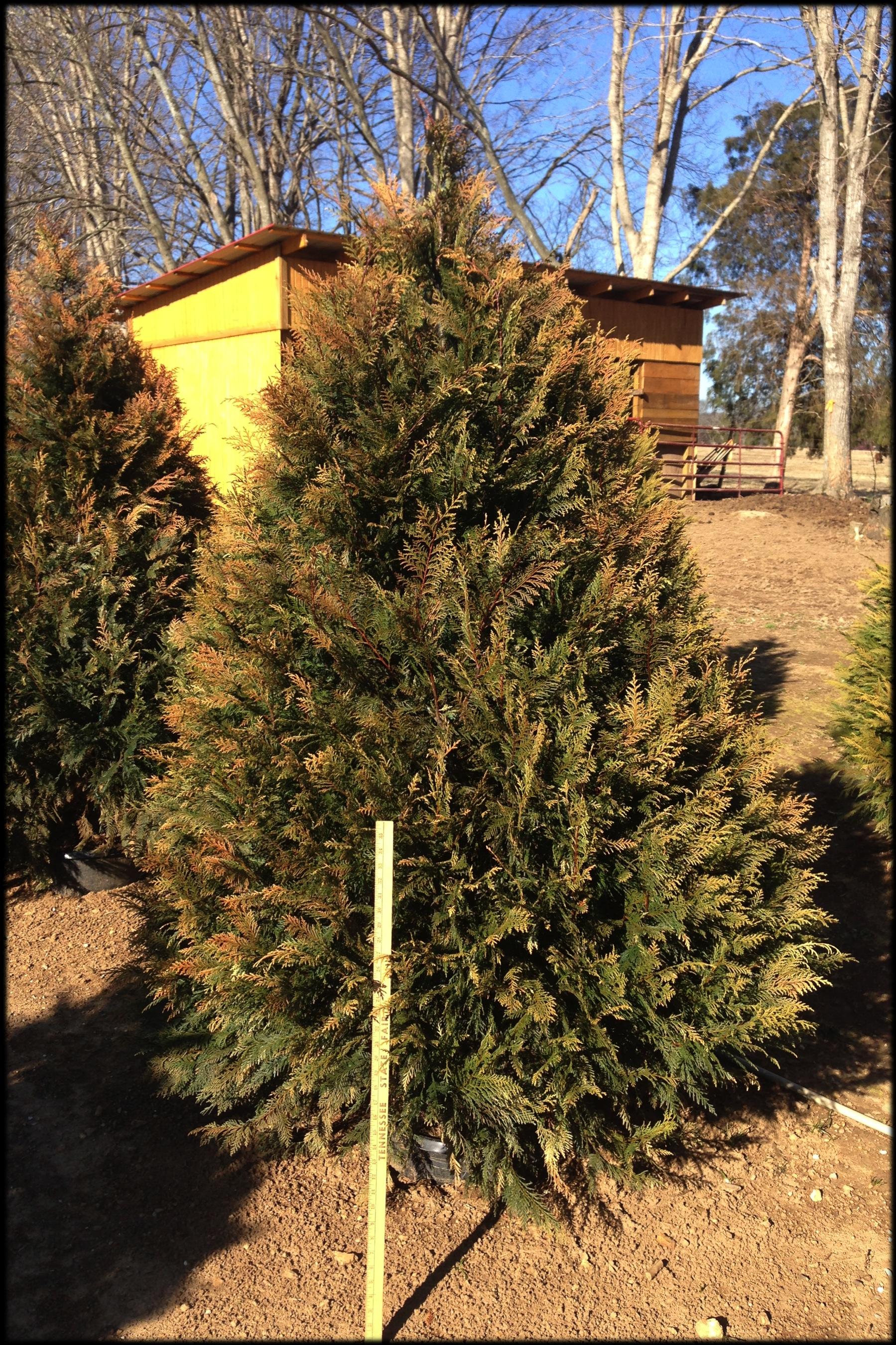 Murray Cypress 15D (yard stick)