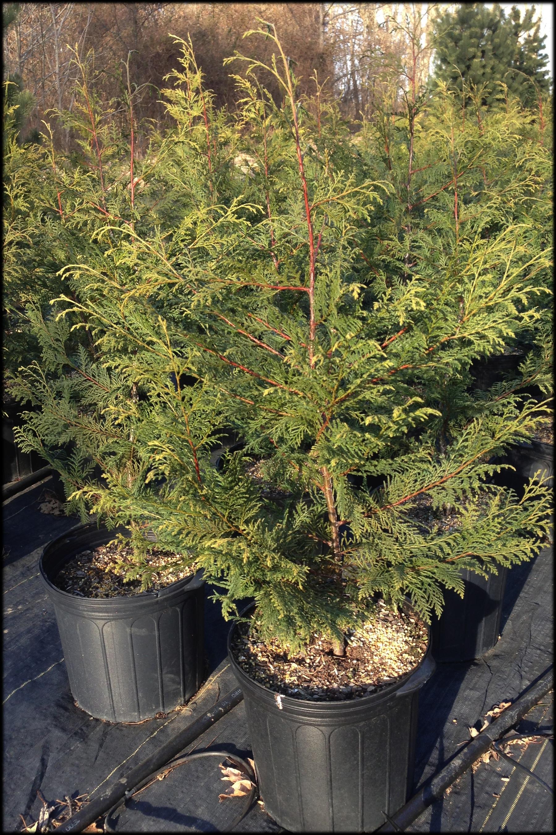 Murray Cypress 5 (nursery)